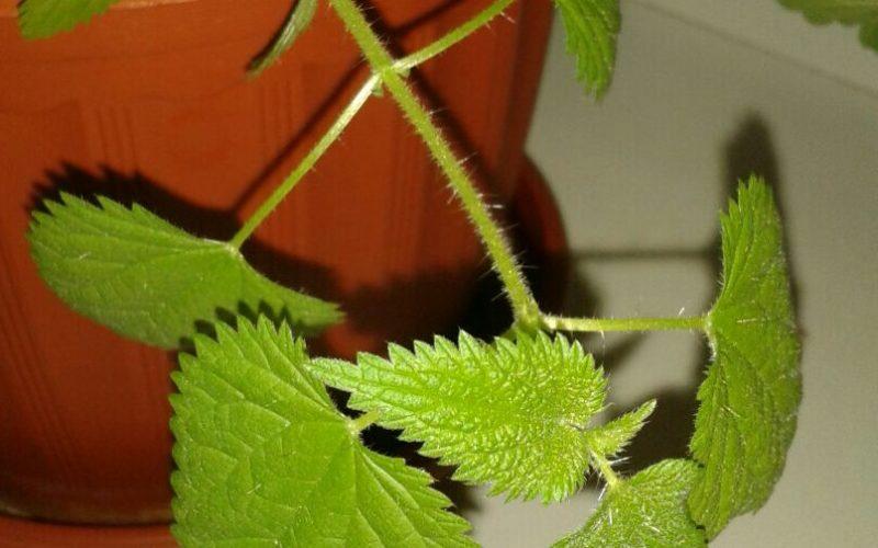 Зеленый цветок, похож на крапиву