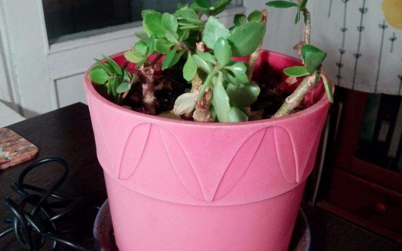 Растеньице с толстыми листочками и прочными стеблями