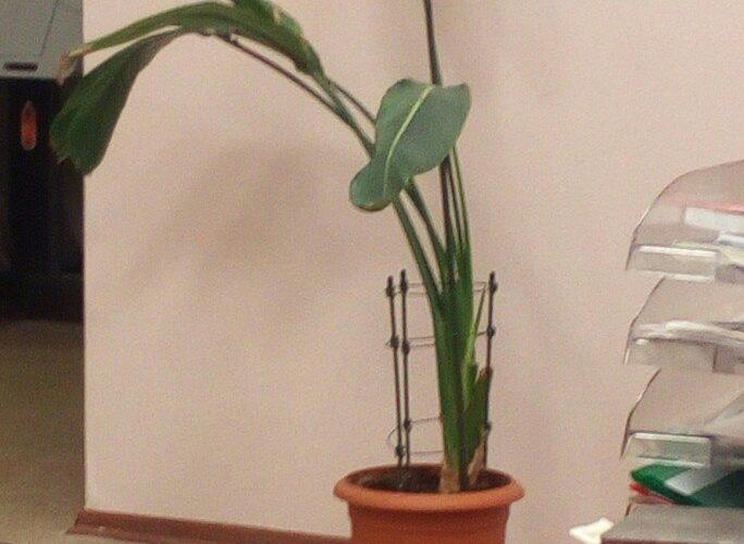 растение с большими высокими листьями