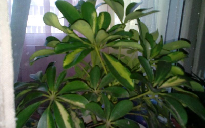 Помогите с названием ,листья овальные зелёного цвета с белыми вкраплениями