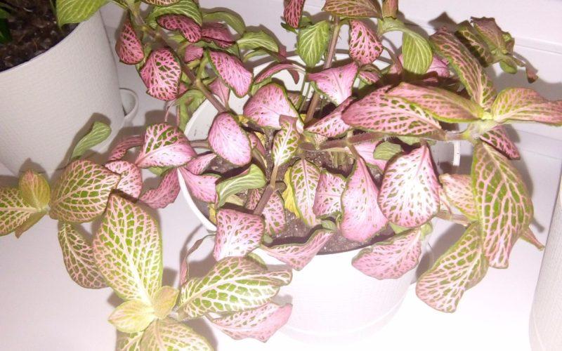 Розовые листья