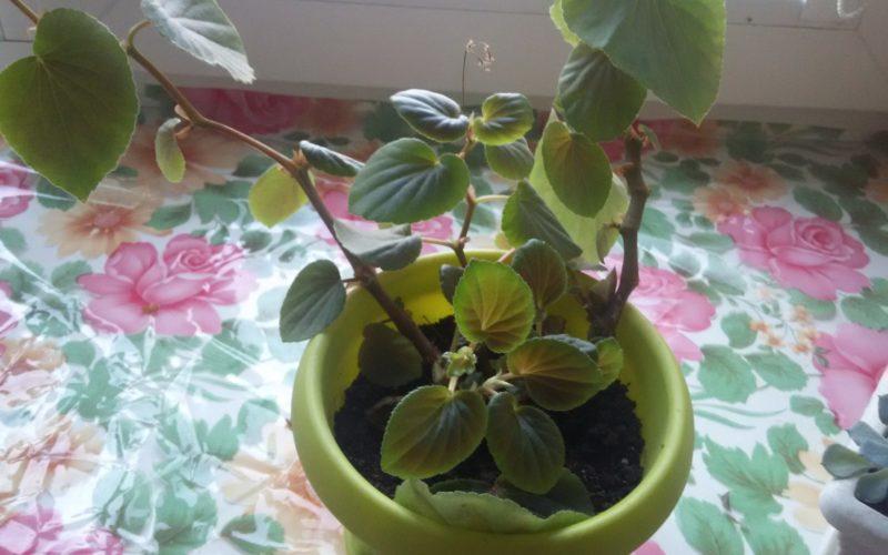 комнатное с зелеными листами и маленькими розовыми цветами