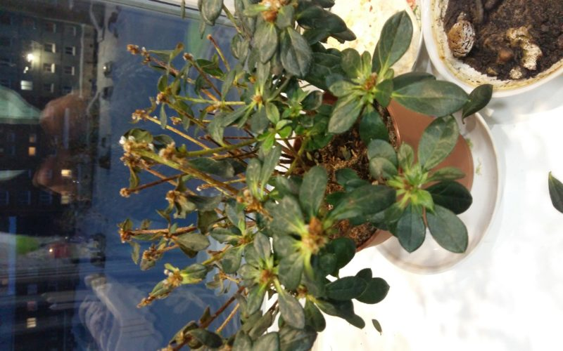 Зеленое растение с мелкими цветками