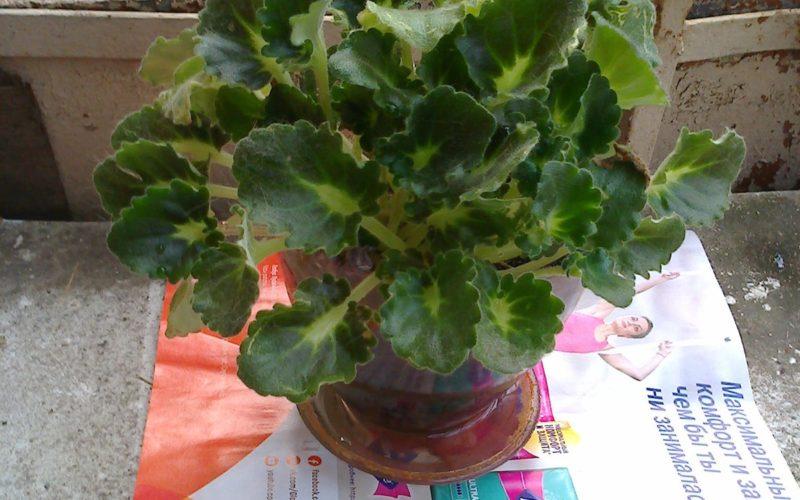 Зелёное растение с желтоватыми листъями.