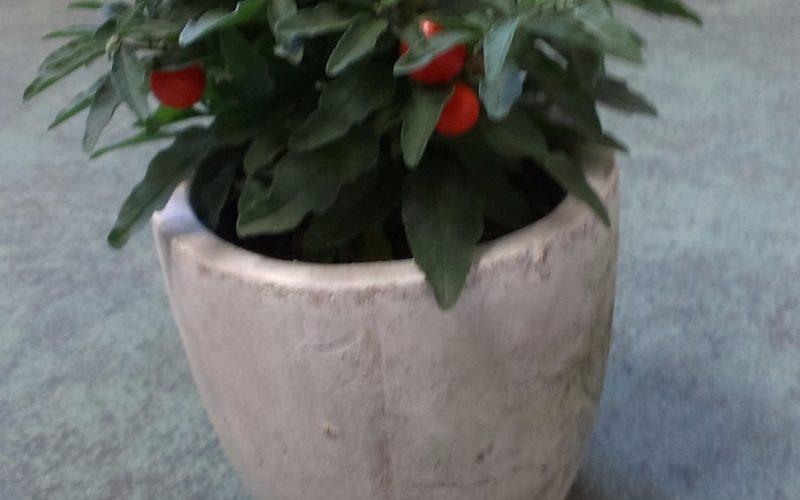 Зеленое растение с оранжевыми плодами