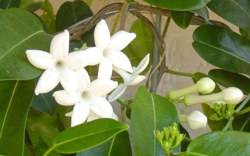 Вьющееся комнатное растение с белыми цветочками