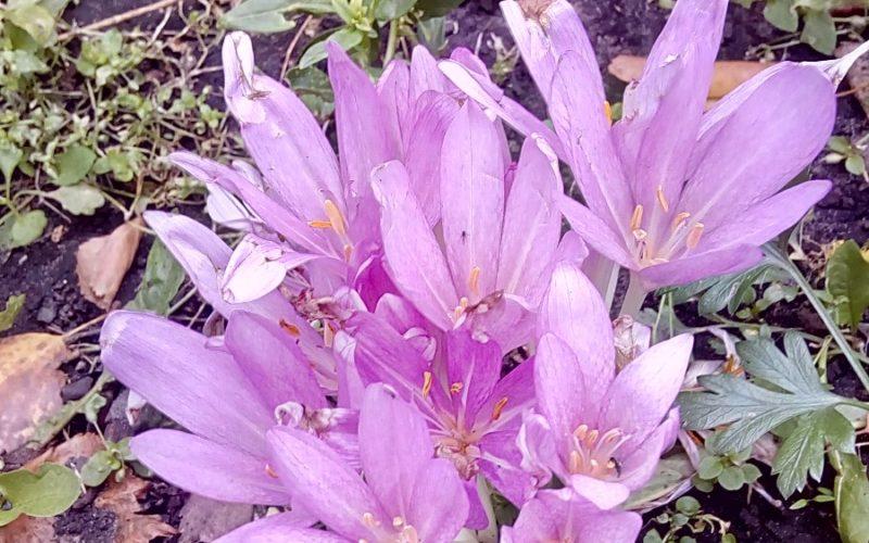 Осеннее растение с сиреневыми цветами
