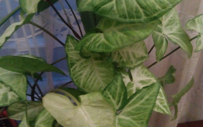 Зелёные листья с белыми полосками) Плетется)