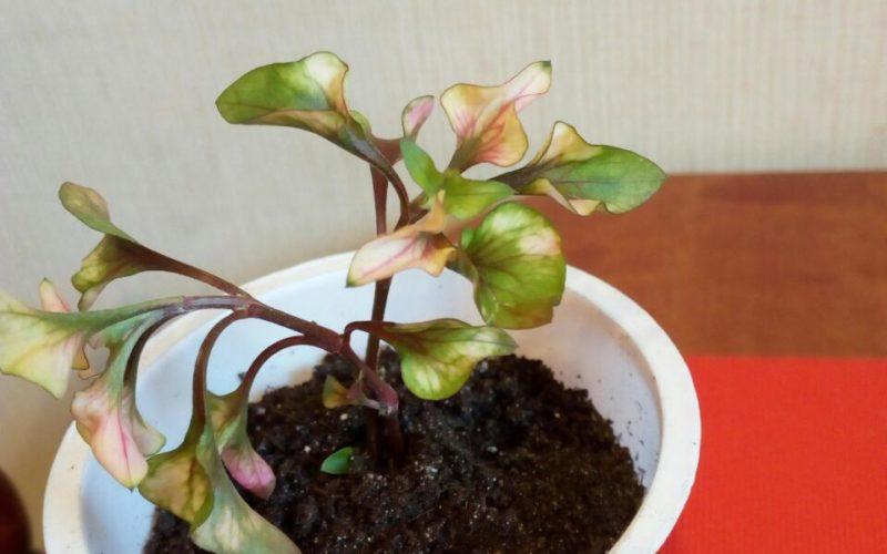 Цветок с пёстрыми листьми