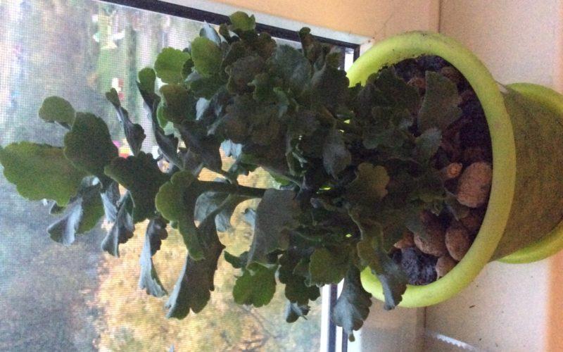 Зеленое растение,цвело белыми цветами,маленькие розочки