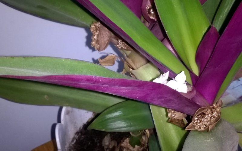 Помогите определить что за цветок зелёное с фиолетовым и белыми цветами