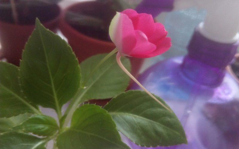 Зелёное растение с розовыми цветами