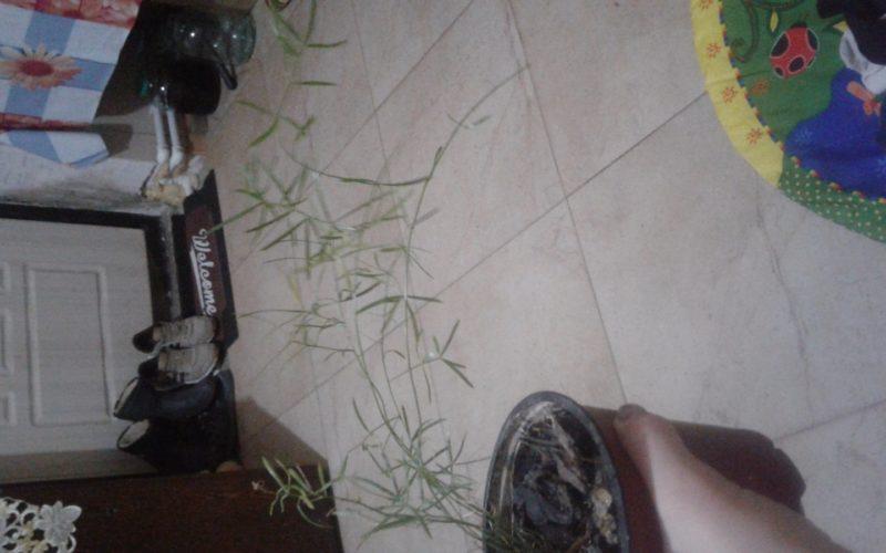 Зеленое растение с узкими длинными листочками