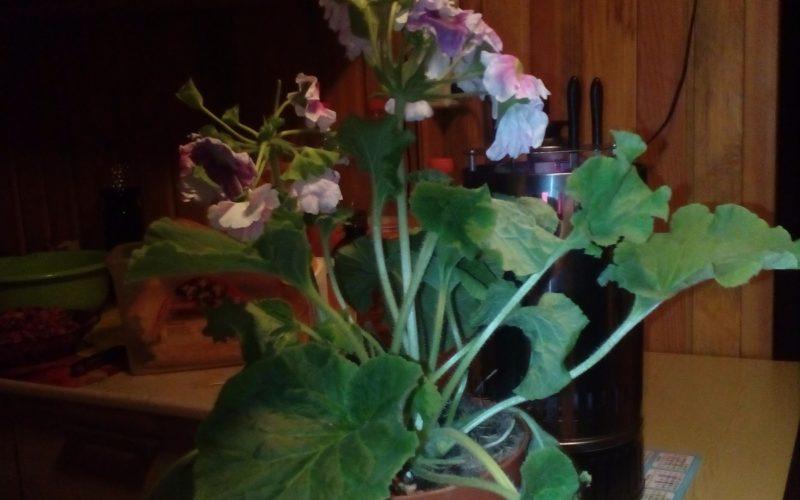 Цветок с фиолетовыми цветками