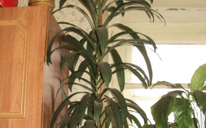 высокое с продалговатыми листьями