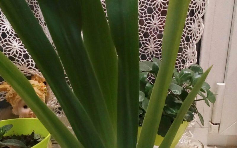 Комнатное растение с длинными узкими листьями