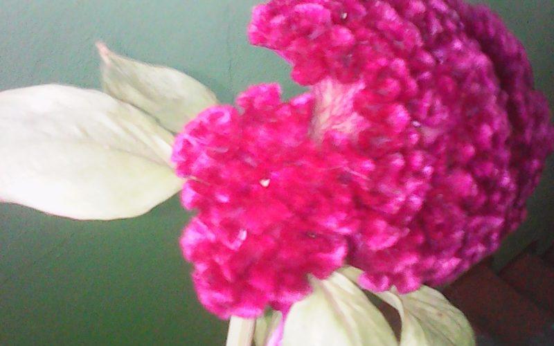 Бардовый пушистый цветок лист зеленый