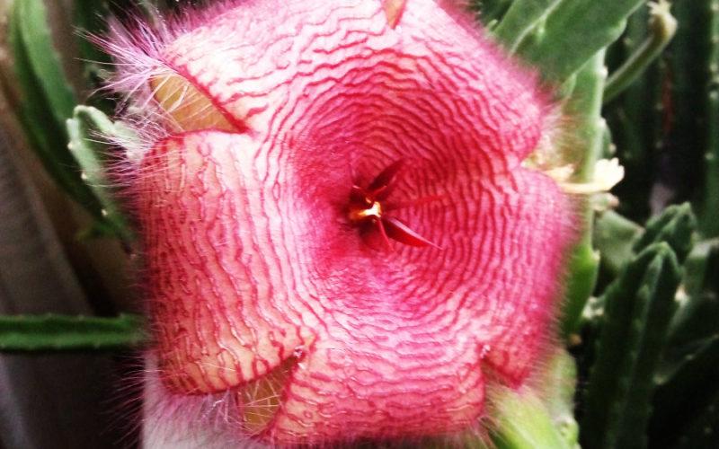 Цветущее растение с очень неприятным запахом цветка.