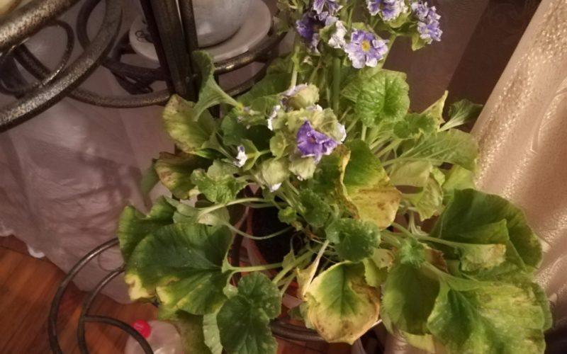 Зелёное растение с сереневыми цветочками