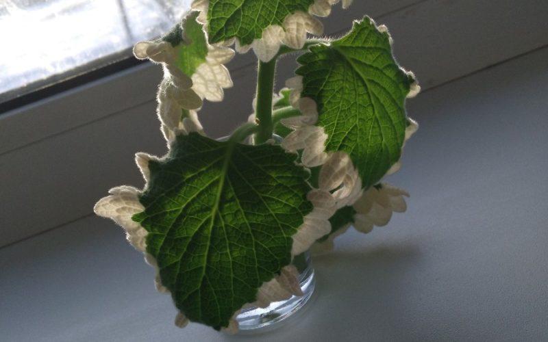 Зеленое растение с белыми листьями