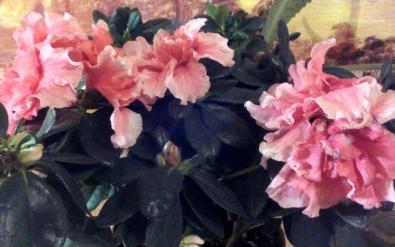 Помогите название цветочка?