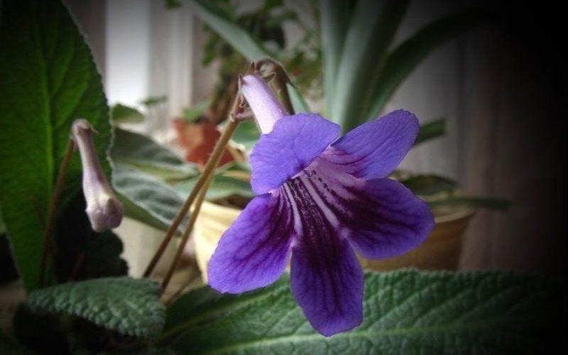 растение с опушенными листьями с крупными цветами в виде колокольчика
