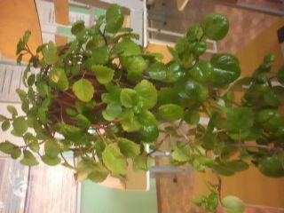 Зелёное комнатное растение с длинными плетями
