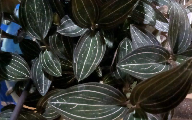 зелёные листья с прожилками белыми