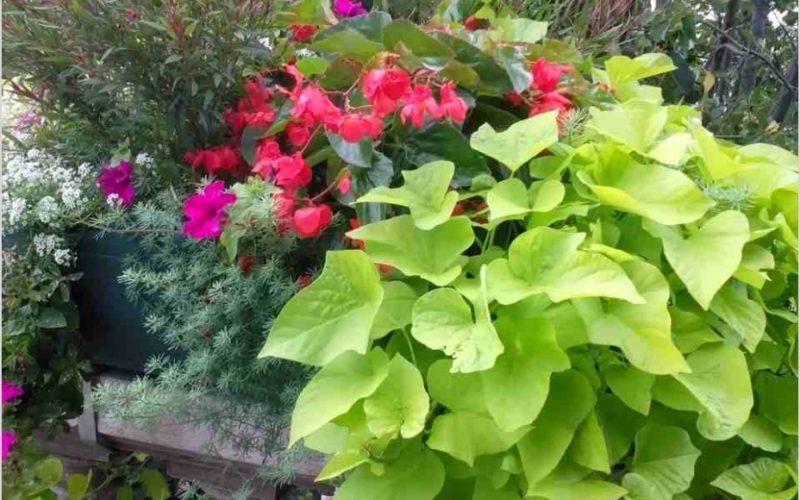 лиана с салатовыми листьями