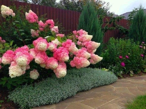 Кустарник с розово-белыми цветами