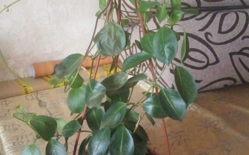 Подскажите как называется растение