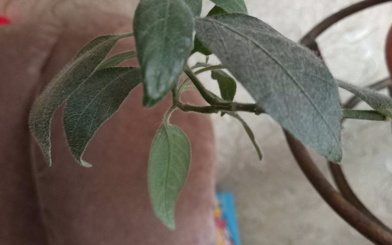 Зелёное растение с голубыми цветочками