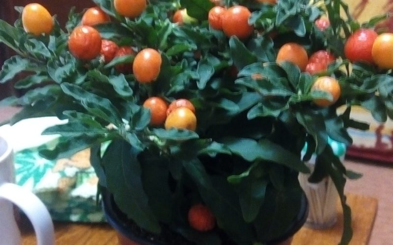 Зеленое растение с оранжево-желтыми плодами