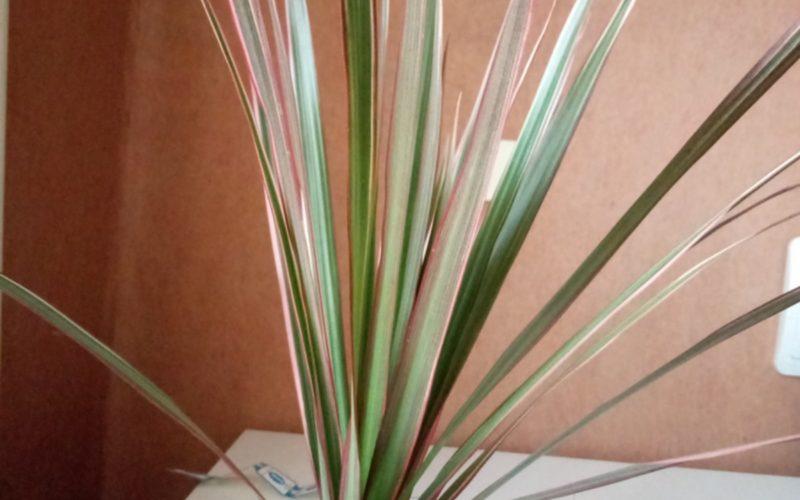 Растение, листья длинные узкие, слегка полосатые
