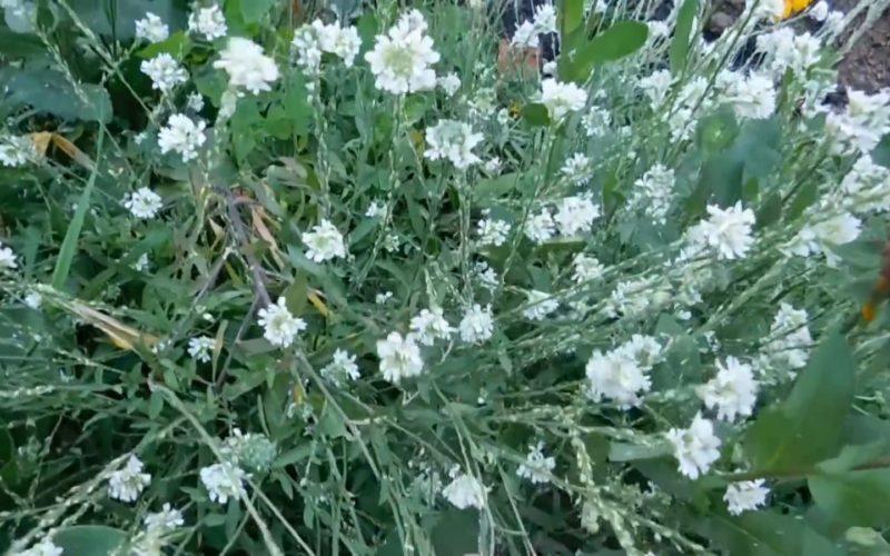 Цветок с поля