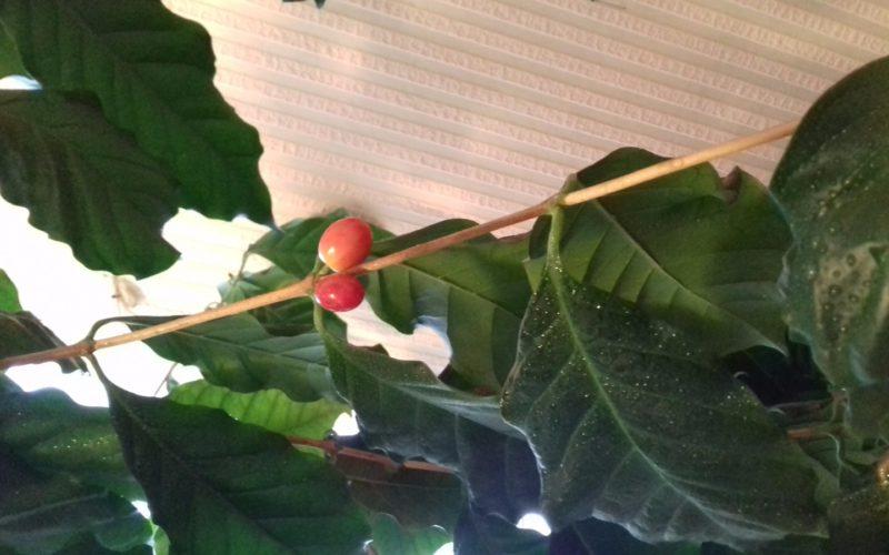 Зеленое растение с плодами