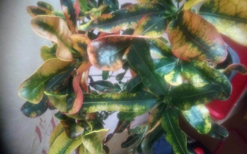 зеленое растение с желтыми листьями