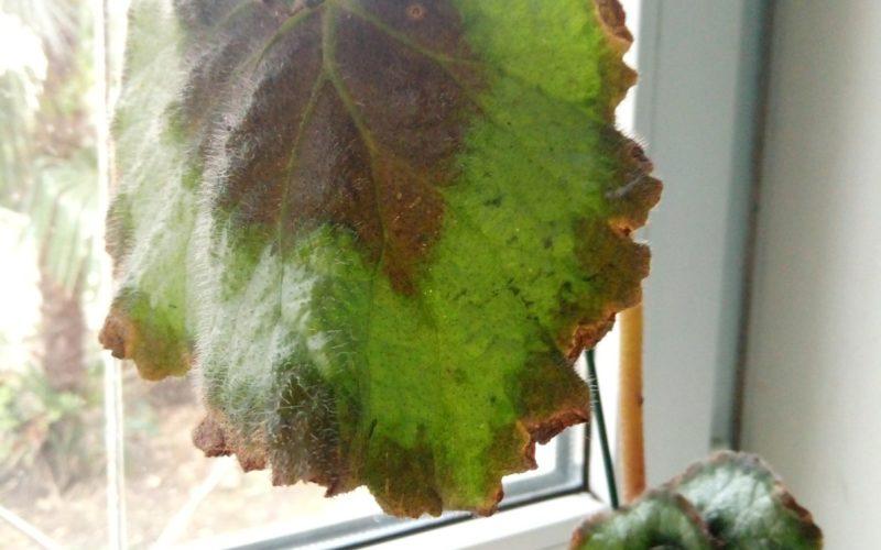 растение с спералевидными листочками