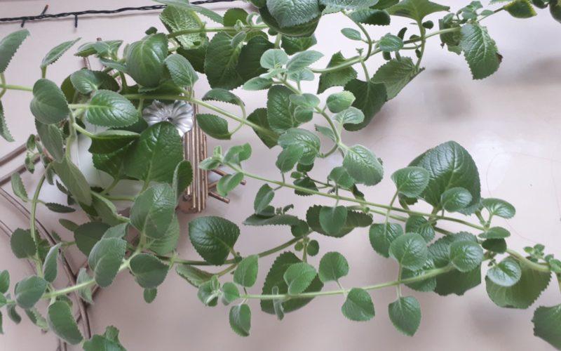 Зеленое растение пахнет лимоном