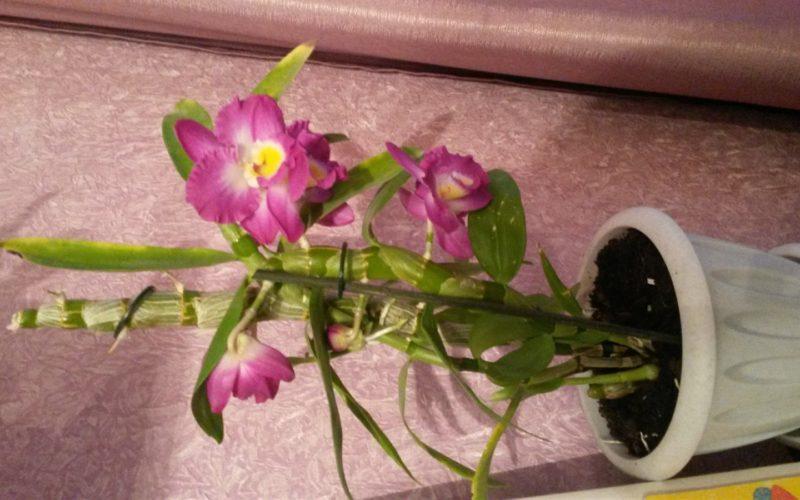Что это за растение из орхидных вроде?