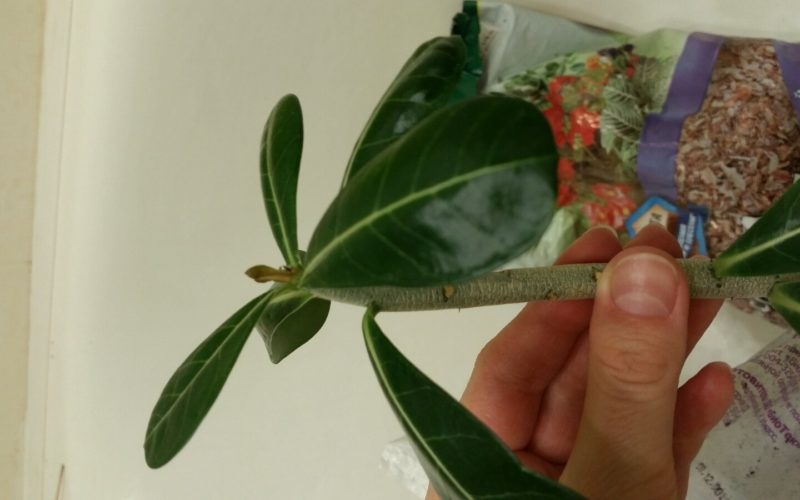 зеленое растение цветки похожи на колокольчики.