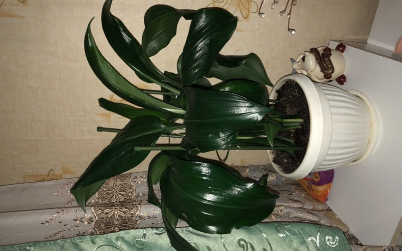 Большие широкие тёмно зелёные листы