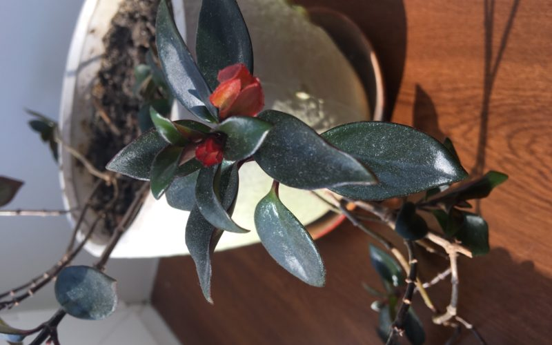 Растение с красными цветами