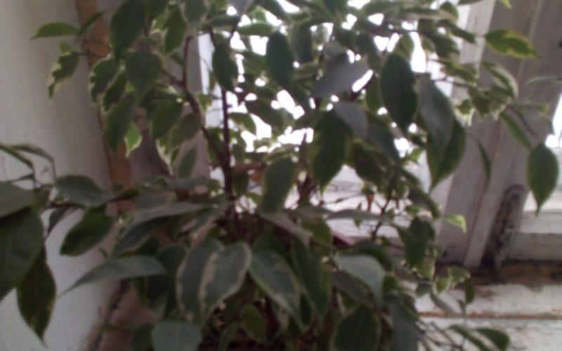 Цветок дерево с желто-зелеными листьями