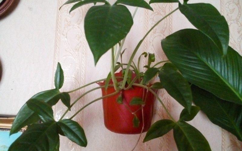 Зелёное растение с тройным листом