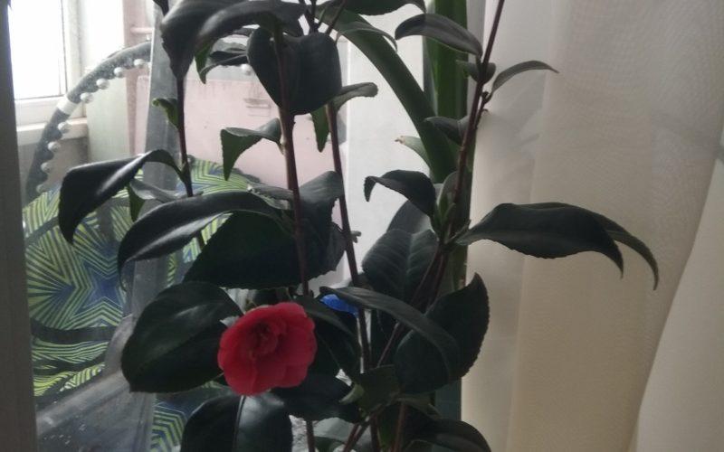 Соцветия похожи на соцветия розы