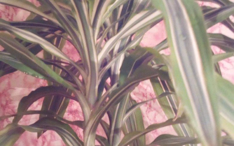 Подскажите пожалуйста, что за растение?