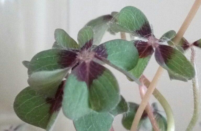 Растение с луковицами