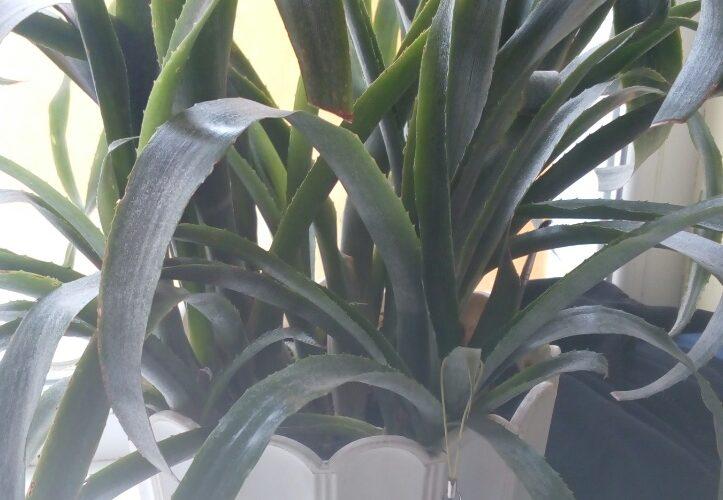 Зеленое расстение с сочными острыми кистьями