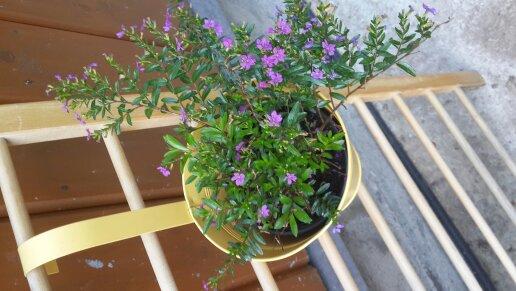 Зеленое растение с мелкими сиреневыми цветочками
